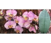 Phalaenopsis PH 025 Manhattan