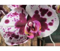 Phalaenopsis PH 011 Polka Dots
