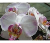 Doritaenopsis DTPS 001 Newberry Parfait 'Picotee' AM/AOS, AM/RHS
