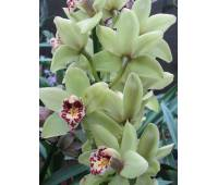 Cymbidium Lemon Smale