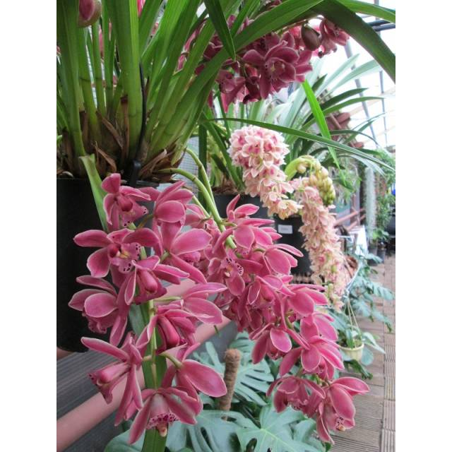 Сymbidium Cascade Red Baron