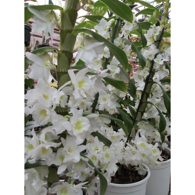 Dendrobium Dream Appolon