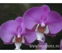 Phalaenopsis PH 061/1 Hilo Lip