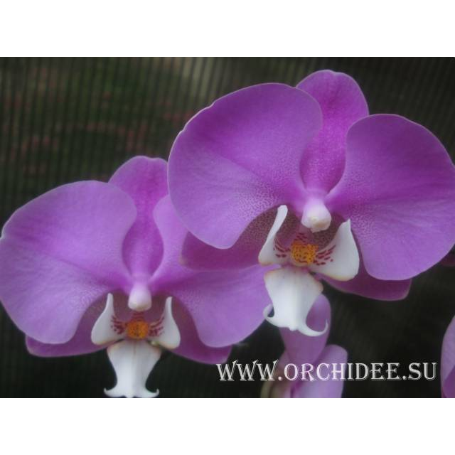 Phalaenopsis PH 061/1 Hilo Lip