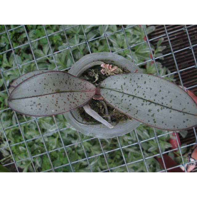 Phalaenopsis schilleriana silver and spot leaf