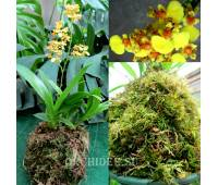 Kokedama oncidium mini 'Yellow'