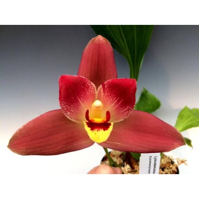 Angulocaste Red Jewel