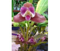 Lycaste macrophylla var. litense