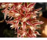Macradenia multiflora