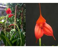 Masdevallia 'Bellavallia Red'