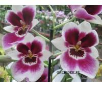 Miltoniopsis hybrid 03