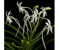 Neofinetia falcata MINI