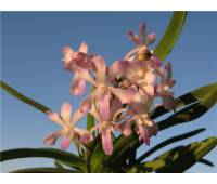 Neostylis Lou Sneary Pink