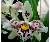 Oncidium hybrid 06