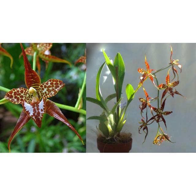 Odontoglossum (Rhyncostele) cordatum