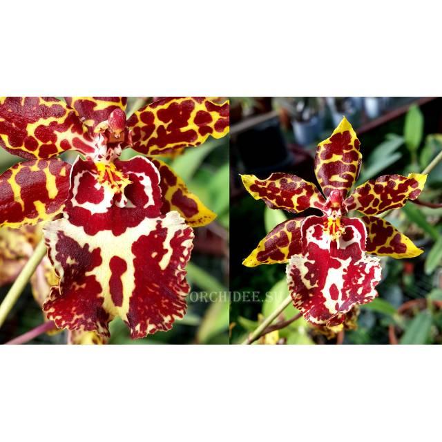 Oncidium Wild Cat 'Leopard'