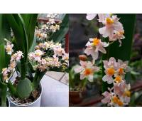 Oncidium Twinkle 'Romantic Fantasy'