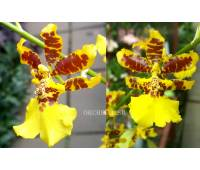 Oncidium Golden Anniversary