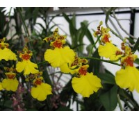 Oncidium Gower Ramsey 'Volcano Queen'