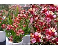 Oncidium Tiny Twinkle 'Red Fragrance'