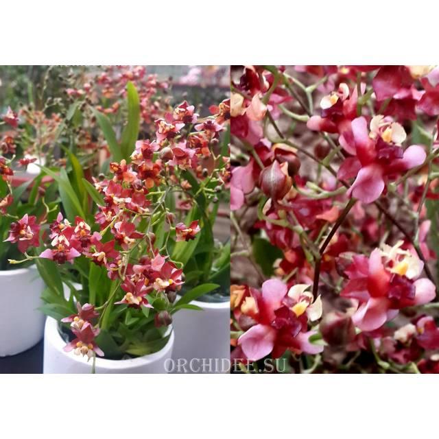 Oncidium Tiny Twinkle 'Red Fragrance'