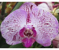 Phalaenopsis PH 013