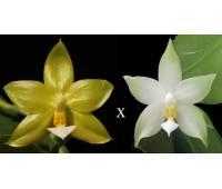 Phalaenopsis Yaphon Evergreen 'yaphon' x Phalaenopsis bellina alba
