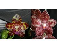 sk-840 Phalaenopsis (gigantean –KS Red Cherry)'Prince'x Phalaenopsis gigantea
