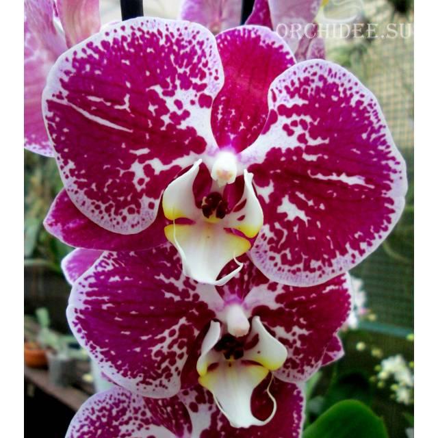 Phalaenopsis PH 01 Compilation