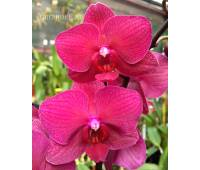 Phalaenopsis PH 003 Ai Gold 'Rose Glow'