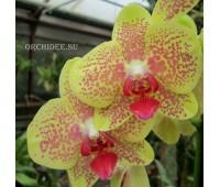 Phalaenopsis PH 005 Orange Star
