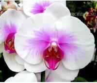 Phalaenopsis PH 007 Mountion