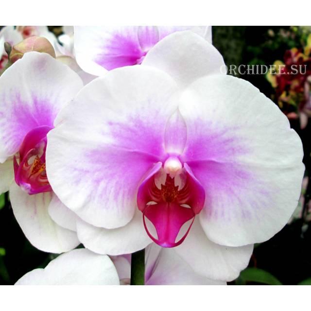 Phalaenopsis PH 007 Mountion