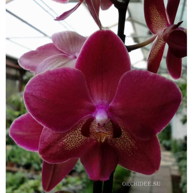 Phalaenopsis PH 018 Red Smale