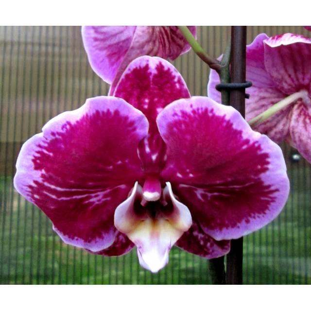 Phalaenopsis PH 020
