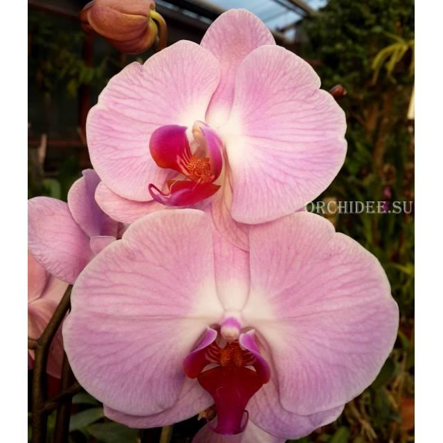 Phalaenopsis PH 022 Sacramento