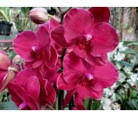Phalaenopsis PH 024 Anthura Monte Carlo