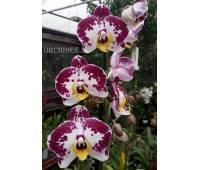 Phalaenopsis PH 026 Elegant Amber