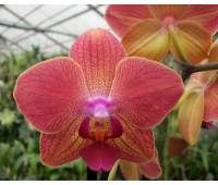 Phalaenopsis PH 035 Royal Orange