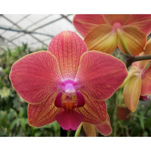 Phalaenopsis PH 035 Royal Orange