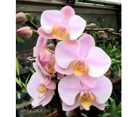 Phalaenopsis PH 040 Anthura Salinas