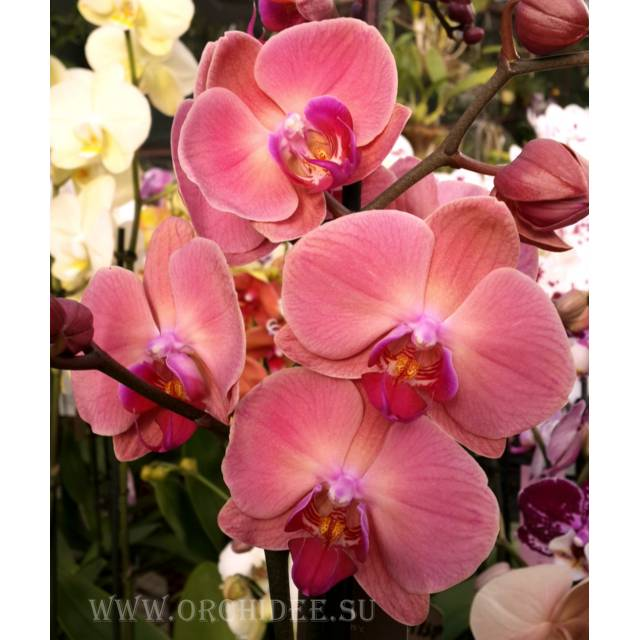 Phalaenopsis PH 043 OX Golden Apple 'Coral'