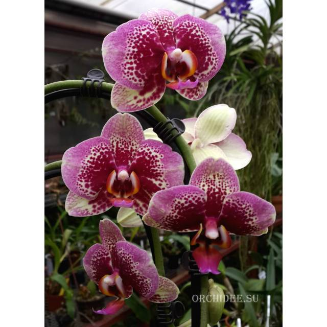 Phalaenopsis PH 044 Elegant Dream Diamand