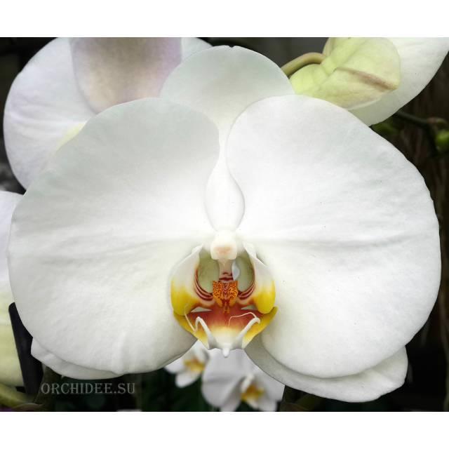 Phalaenopsis PH 047/3 Groot Wit