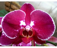 Phalaenopsis PH 048