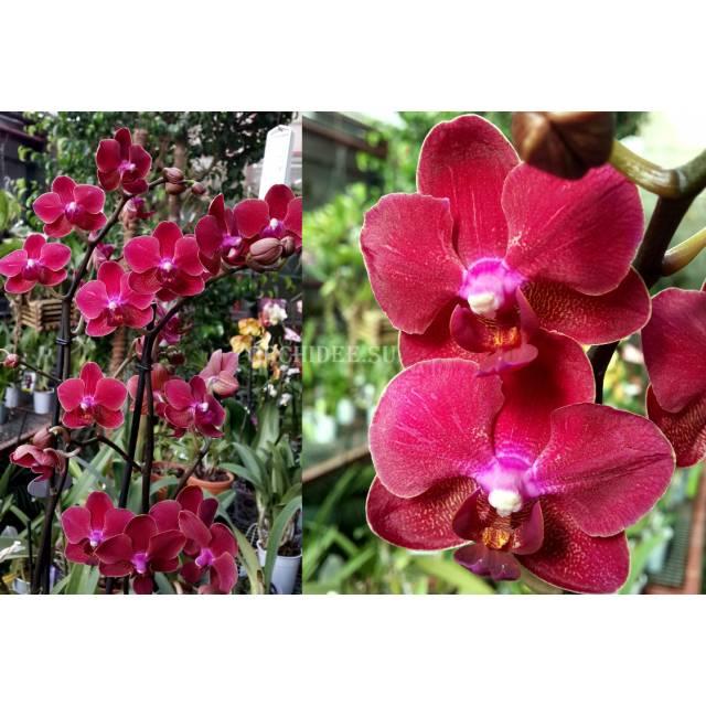 Phalaenopsis PHM 055 Rood