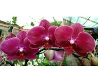 Phalaenopsis PH 055 Destiny