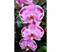 Doritaenopsis DTPS 057 Lanher Happy Dancer