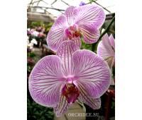 Phalaenopsis PH 060