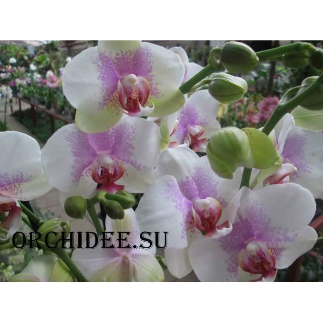 Phalaenopsis PH 062 Reykavik